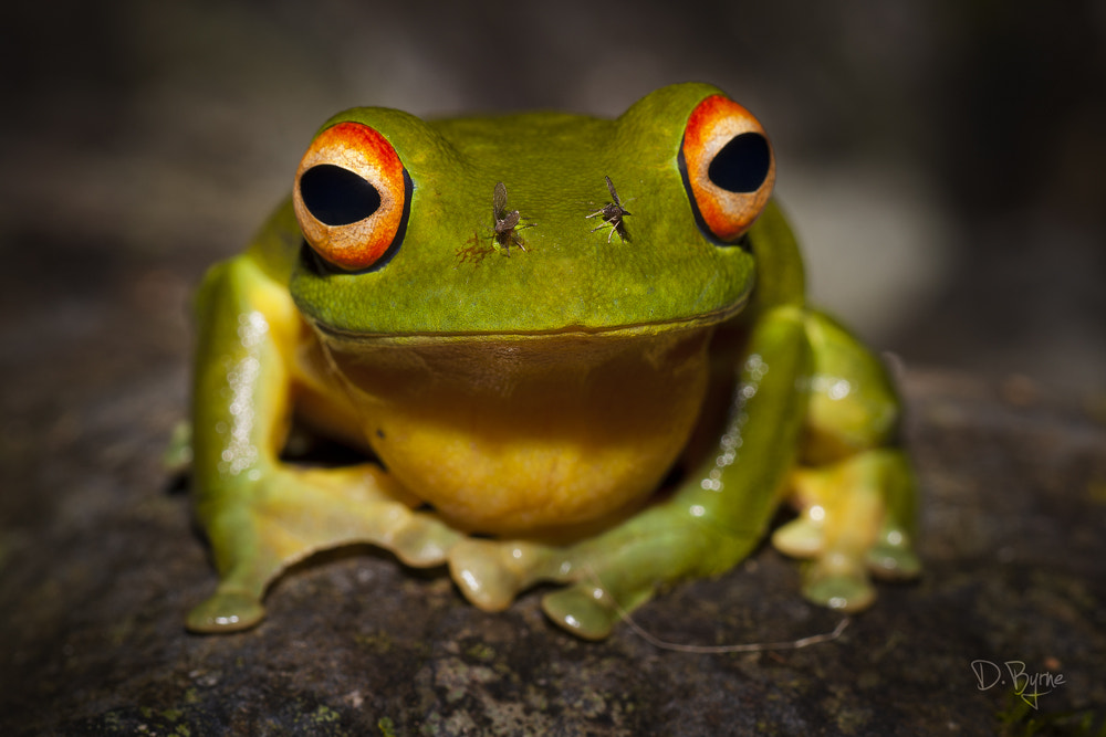 Photograph Red-Eyed Tree Frog by derek byrne on 500px