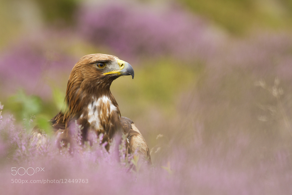 Photograph Golden Eagle  by Sam  Stewart on 500px