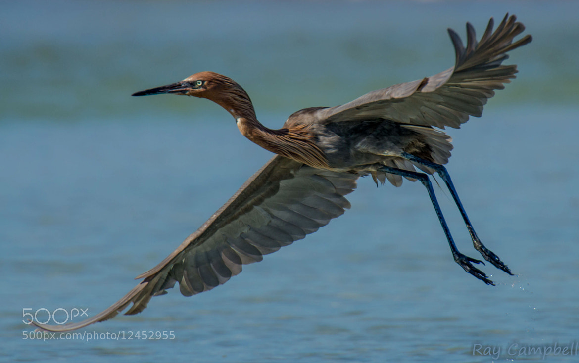 Photograph Reddish Egret in Flight by Ray Campbell on 500px