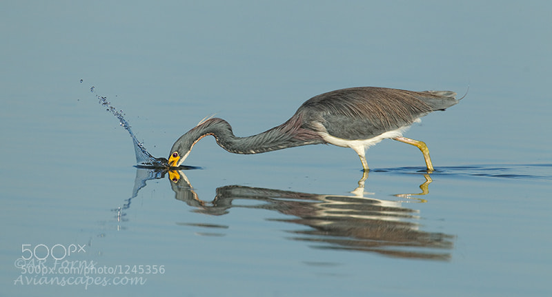 Photograph Tricolored Heron Fishing by Alfred Forns on 500px