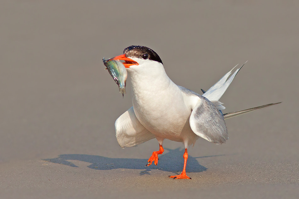 Photograph Common Sea Tern by Roy Avraham on 500px