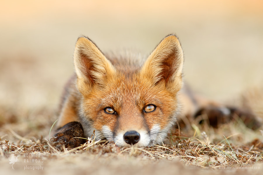 What Does The Fox Think..? by Roeselien Raimond on 500px.com