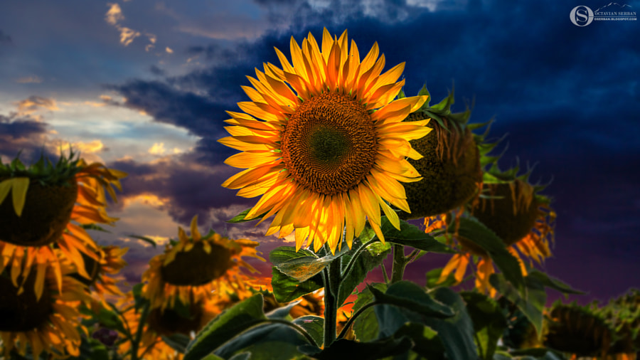 Sun Flower by Octavian Serban on 500px.com