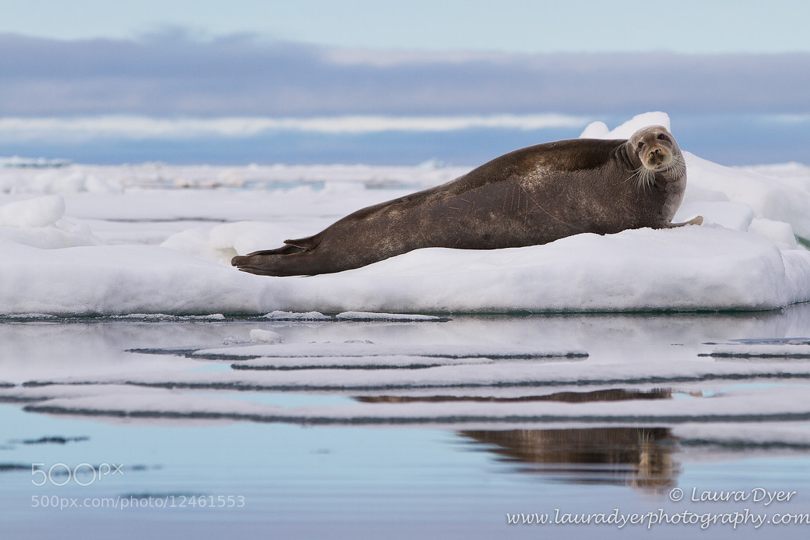 Photograph Bearded seal reflection by Laura Dyer on 500px