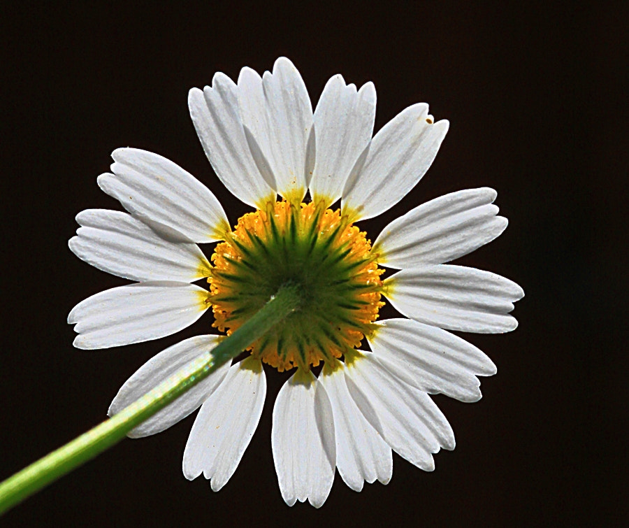 Photograph Daisy. by Necdet Yasar on 500px