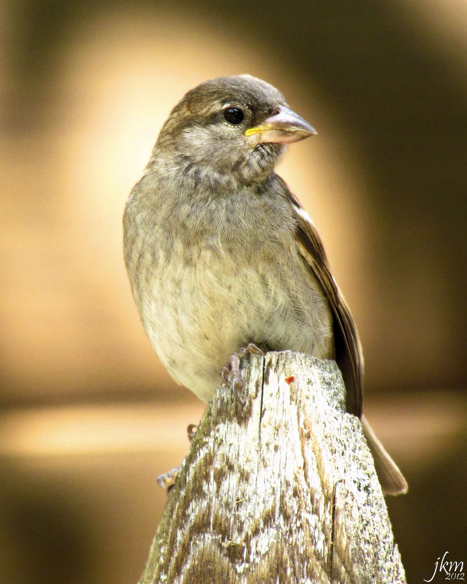 Photograph Swamp Sparrow by Jennifer Mailley on 500px
