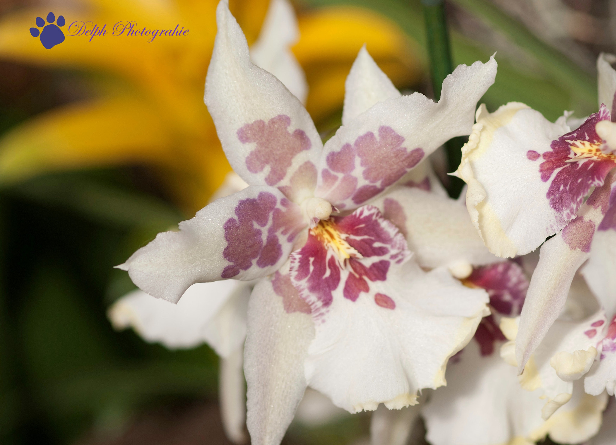 Photograph orchidée blanche/mauve by Delphine Melin Scholl on 500px