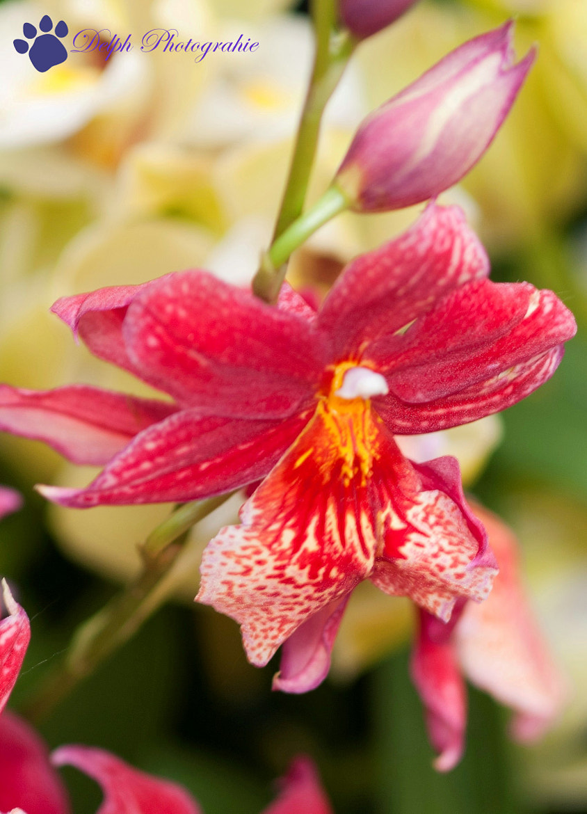 Photograph orchidée rouge by Delphine Melin Scholl on 500px
