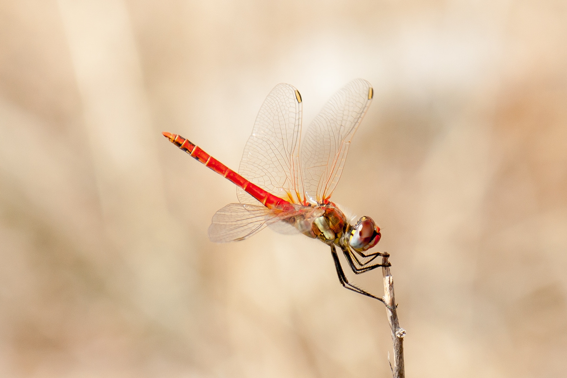 Photograph Sympetrum by Gerard Inglés Camats on 500px