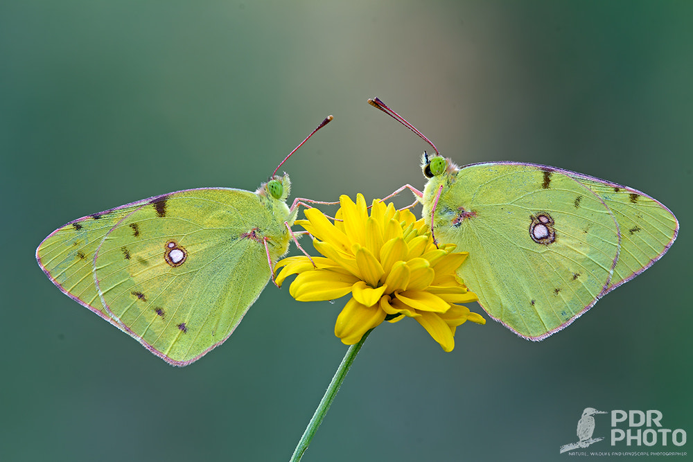 Photograph Colias Crocea by PdR Photo on 500px