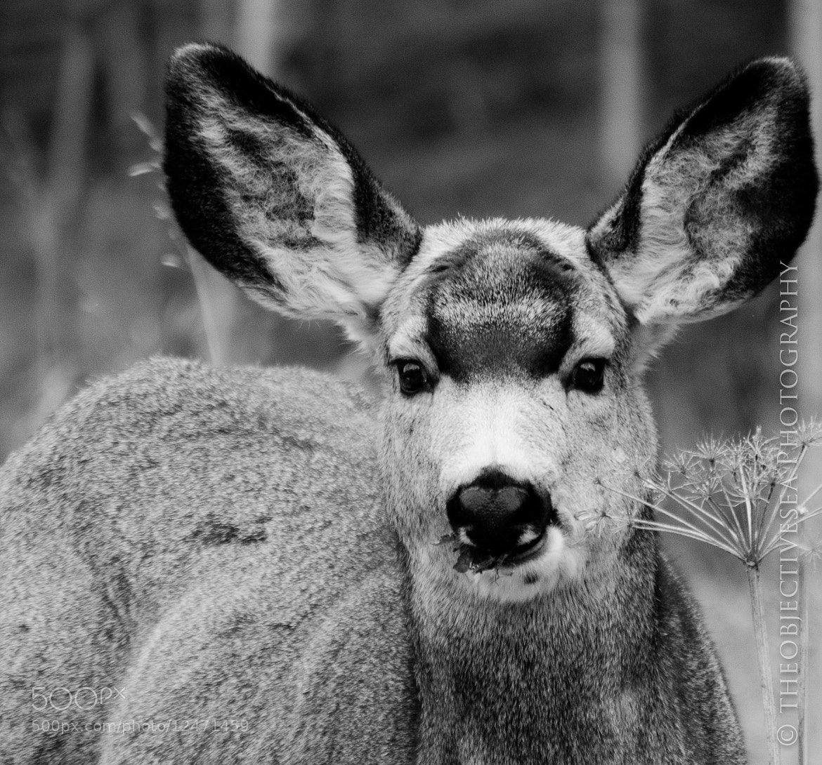 Photograph Mule Deer by Kevin Smith on 500px