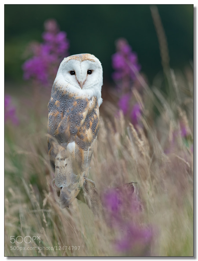 Photograph Barn Owl In Grass by Mike Hudson on 500px