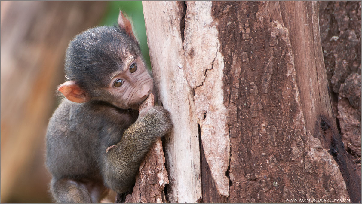 Photograph Baby Baboon by Raymond Barlow on 500px