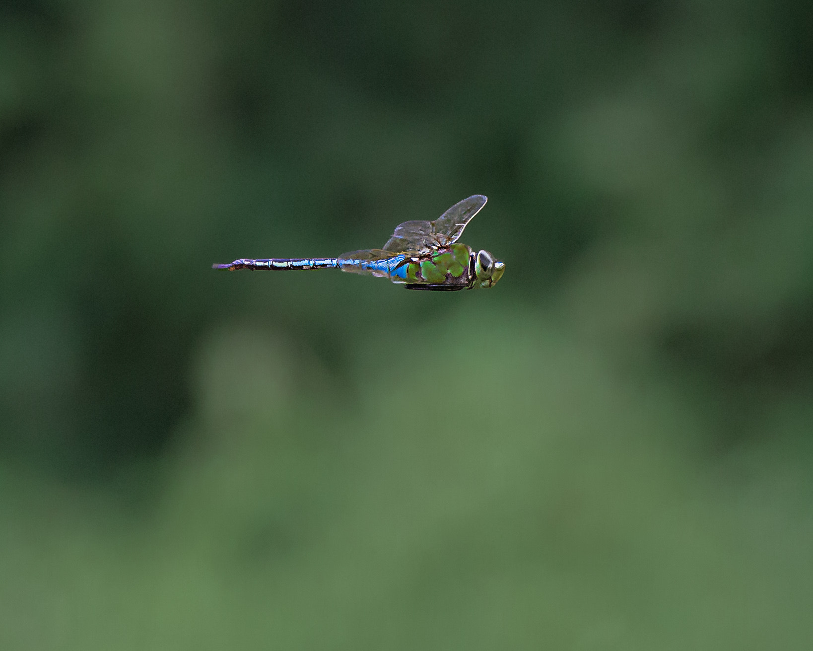Photograph Emperor Dragonfly by Steven Kersting on 500px