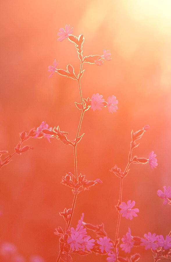 Photograph Red campion by Jelte V. on 500px