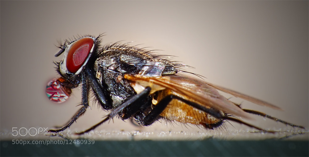 Photograph The Housefly-4 by MURAT FINDIK on 500px