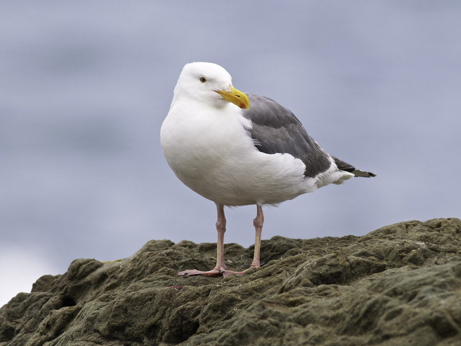 Photograph Western Gull by George Gibbs on 500px