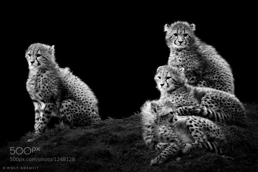 9 cheetah cubs sitting