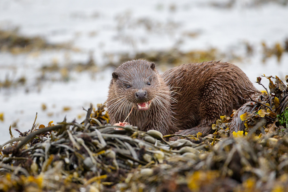 Photograph Wild Otter Eating a Fish in Mull, Scotland by Oliver Wright on 500px