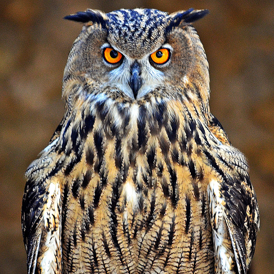 owl by Fred Matos on 500px.com