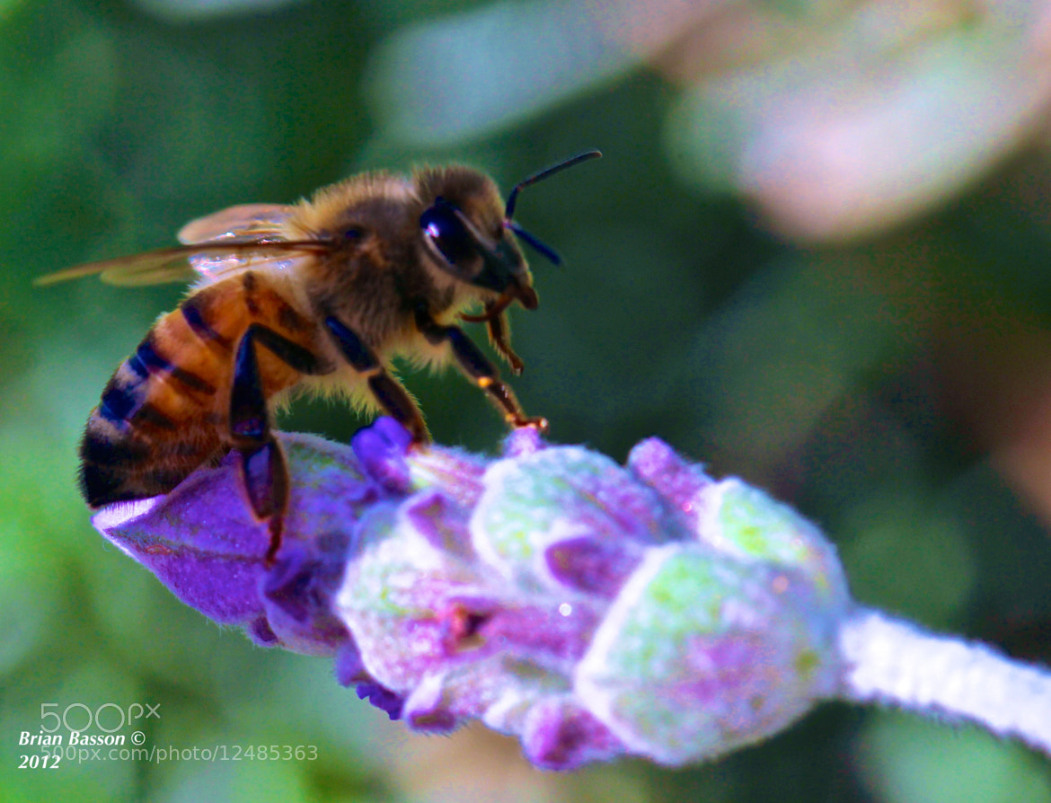 Photograph Bee at work by Brian Basson on 500px