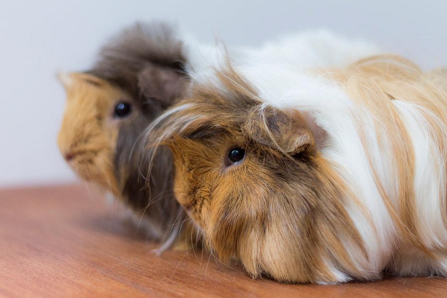 Guinea Pigs by Mara Coteață on 500px.com