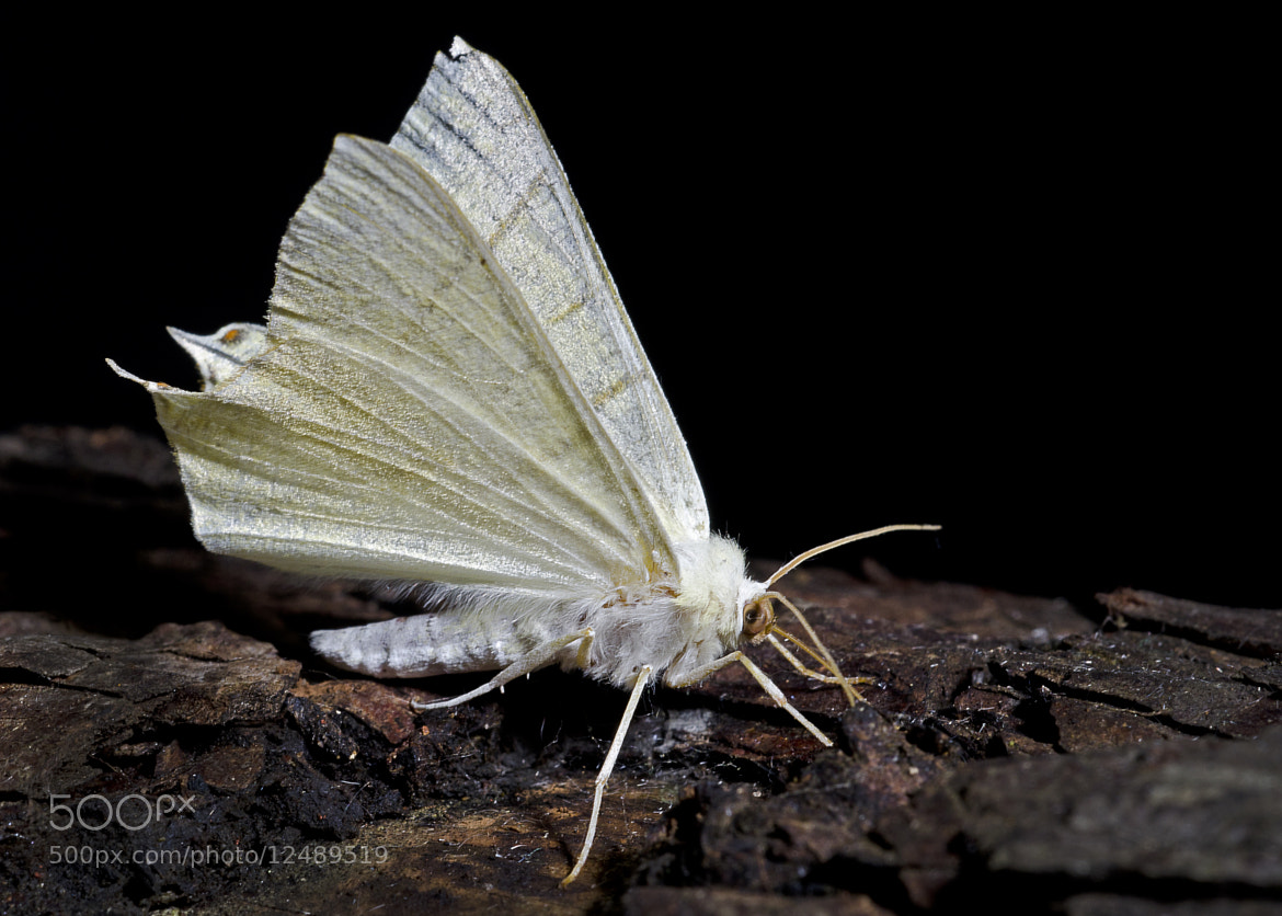Photograph Swallow-tailed Moth   Ourapteryx sambucaria by Sarah Bindon on 500px