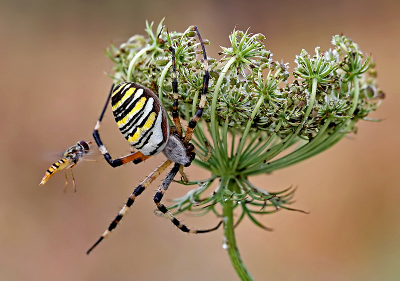 Photograph  hoverflies in flight by ivo pandoli on 500px