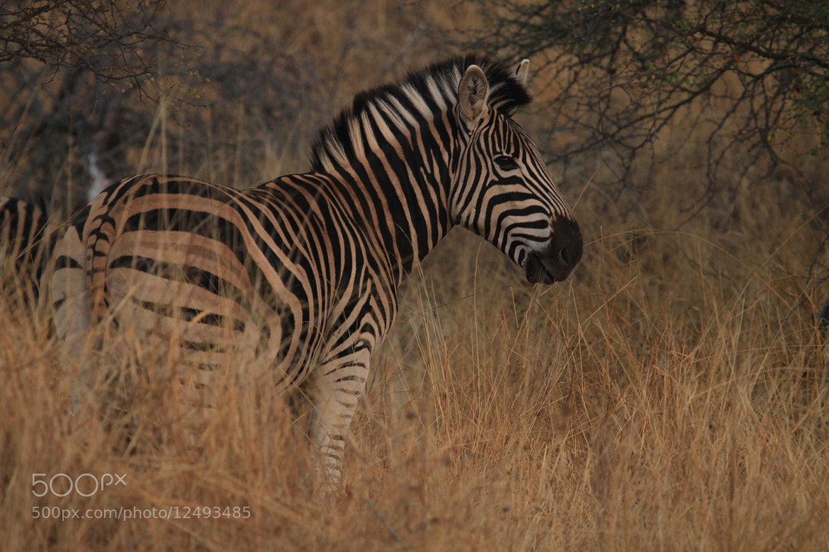 Photograph Zebra by Benjamin Fisher on 500px