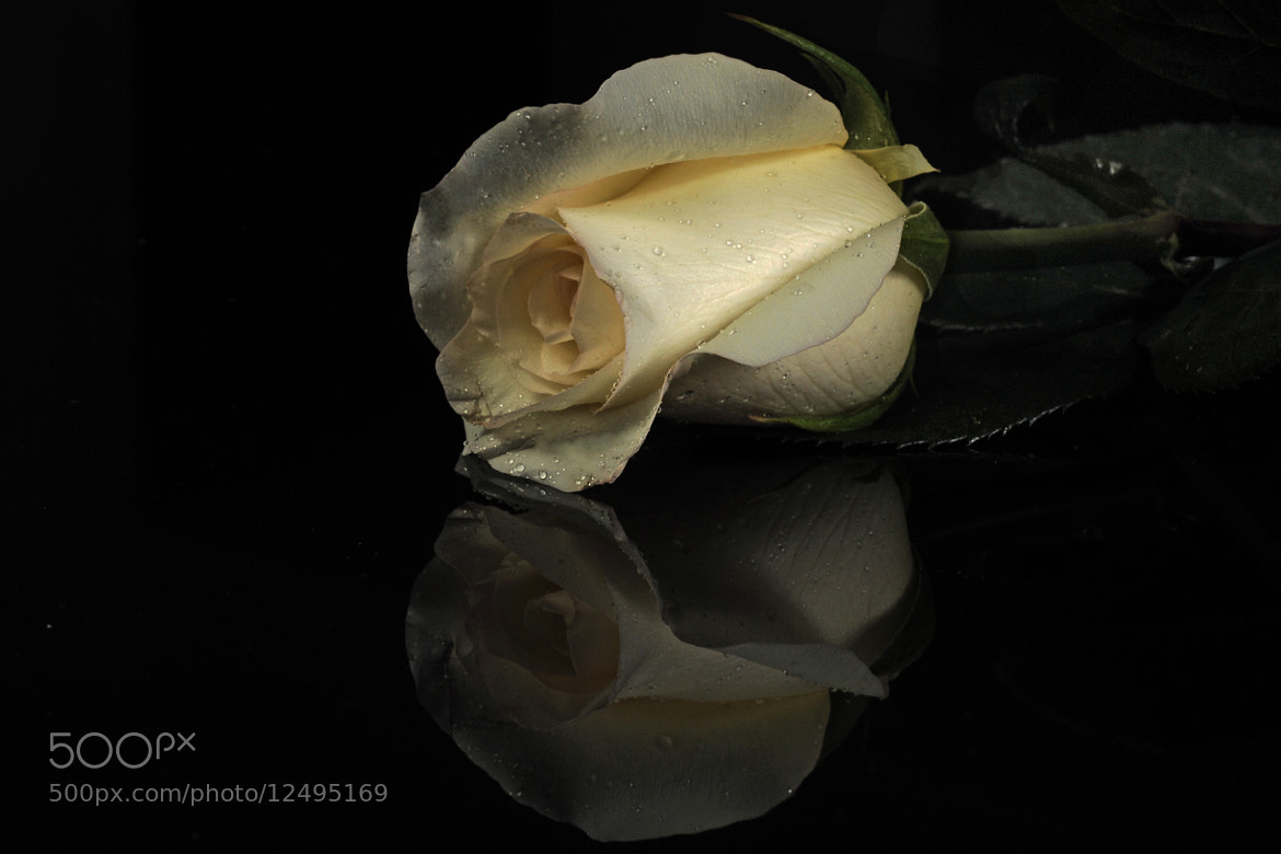 Photograph Rose, with reflection by Cristobal Garciaferro Rubio on 500px