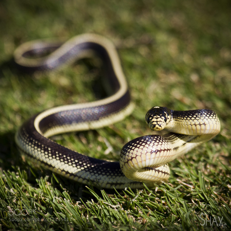 Photograph Slither by Shay Blechynden on 500px
