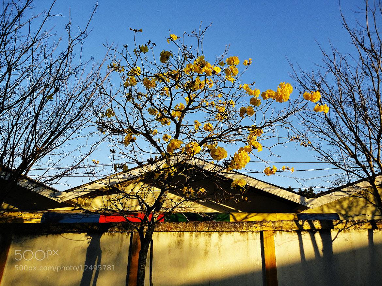 Photograph iPÊ AMARELO by Reginaldo Levinski Da Silva on 500px