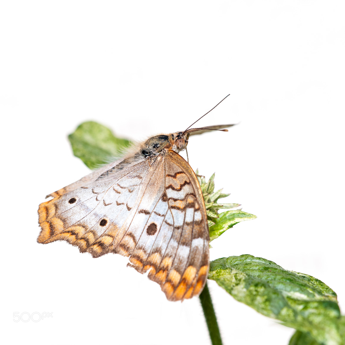Photograph  White Peacock butterfly (Anartia jatrophae)  by Jim McKinley on 500px