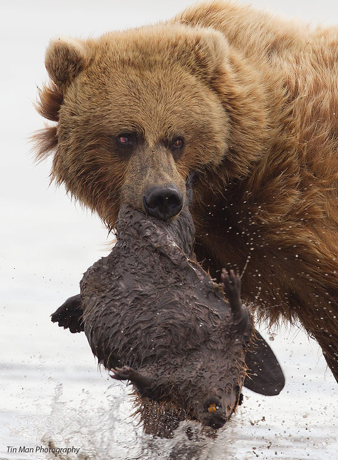 Photograph Bear and Beaver by Tin Man on 500px