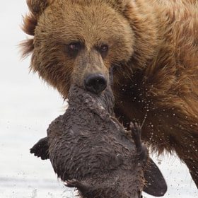 Bear and Beaver by Tin Man (tinman)) on 500px.com
