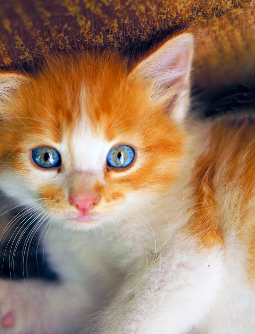 Photograph kitten with blue eyes - by Vitaliy Stavash on 500px