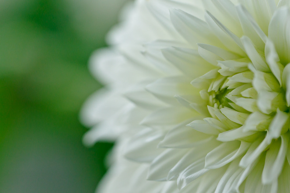 Photograph WHITE GREEN DAHLIA by Marion Fanieng on 500px