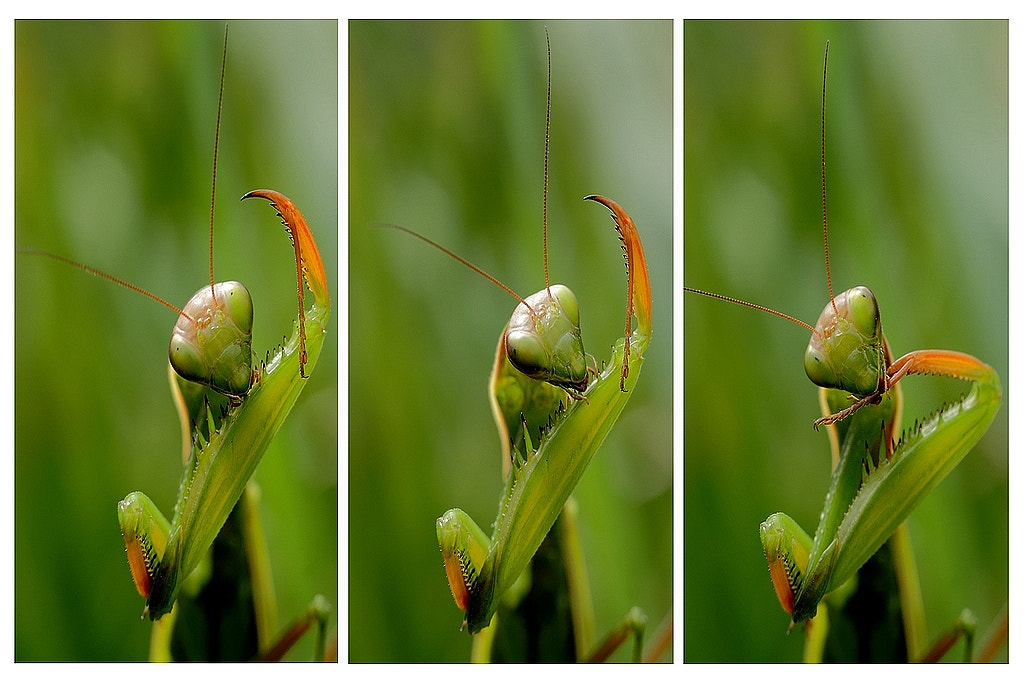 Photograph mantis by wise photographie on 500px