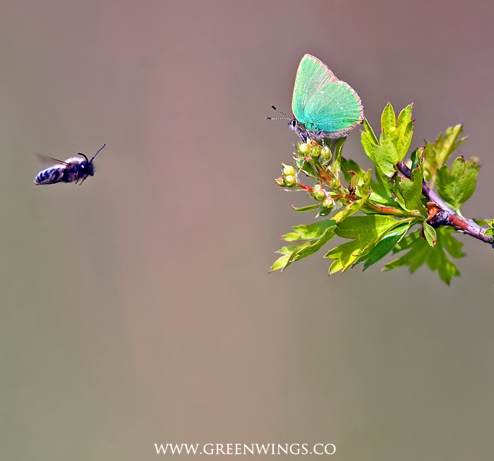 Photograph Green Hairstreak by Matt Berry on 500px