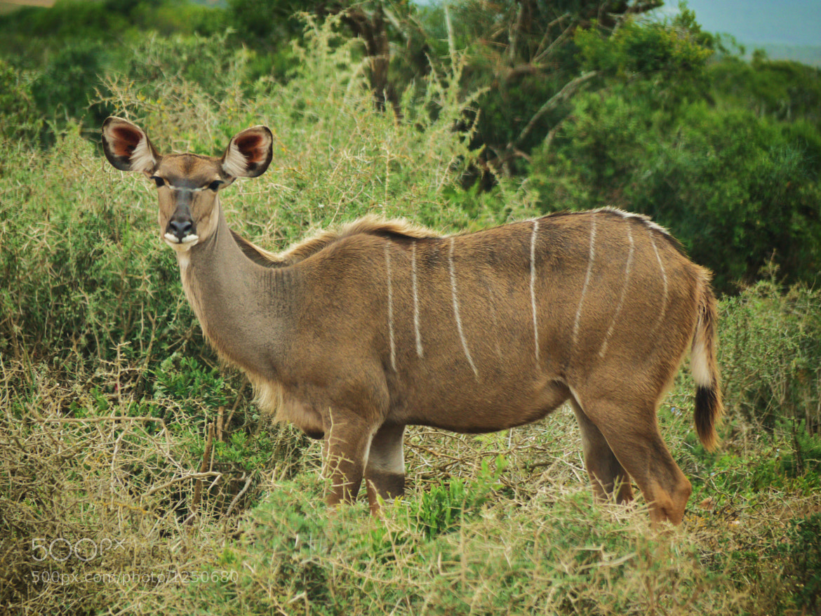 Photograph Female Kudu by Sarah Ive on 500px