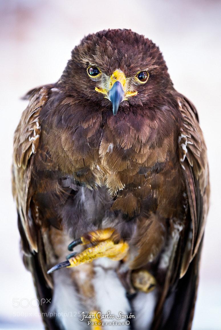 Photograph EL descanso del pequeño halcon (Rest of the small falcon)  by Juan Carlos Simón on 500px
