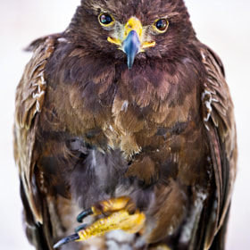 Halcon Harris  (falcon Harris)