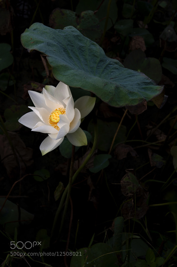 Photograph Autumn Lotus by taya liu on 500px