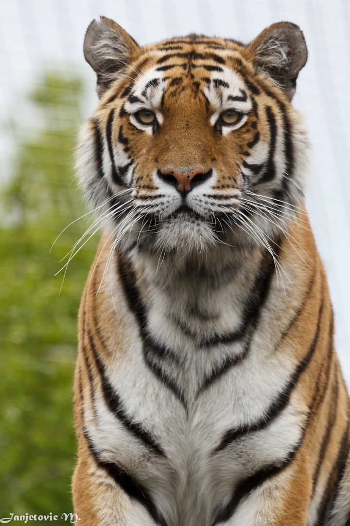 Photograph Sibirischer Tiger by Mladen Janjetovic on 500px