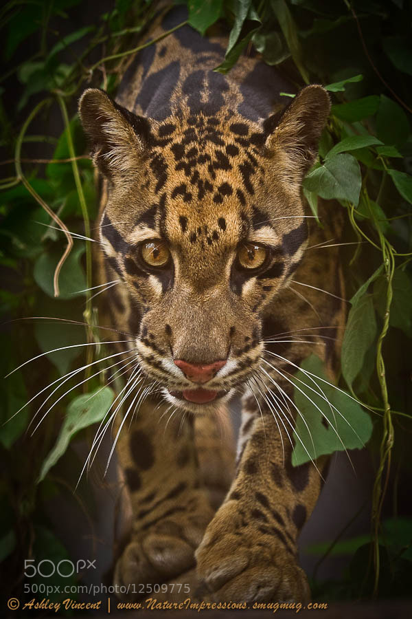 Photograph Prince of The Jungle by Ashley Vincent on 500px