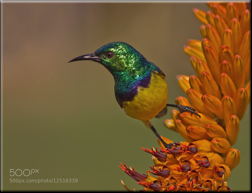 Photograph Collared Sunbird by Amelia Vermaak on 500px