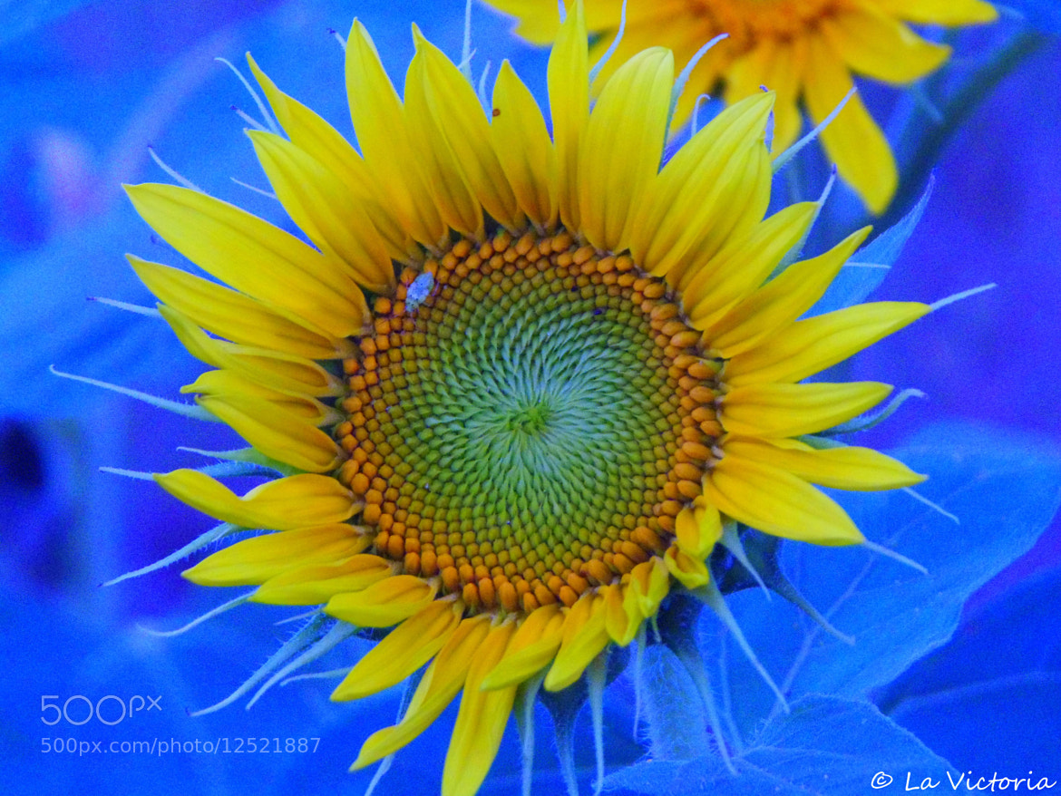 Photograph Sunflower!  by Victoria S. on 500px