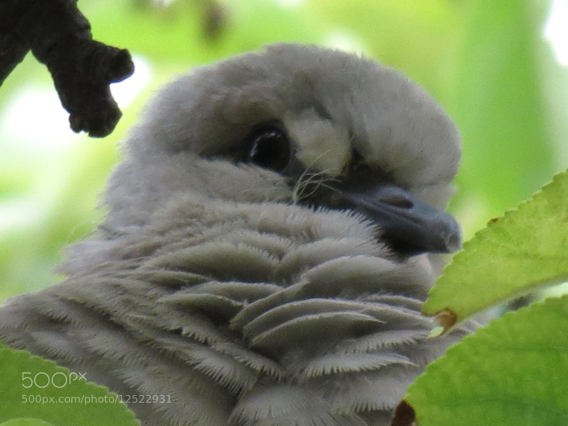 Photograph Young Pigeon by Károly Danyi on 500px