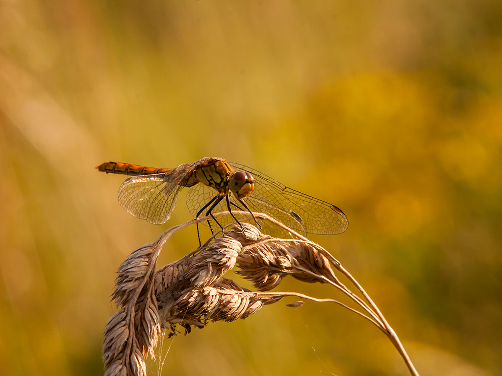 Photograph common darter by dave blackwell on 500px