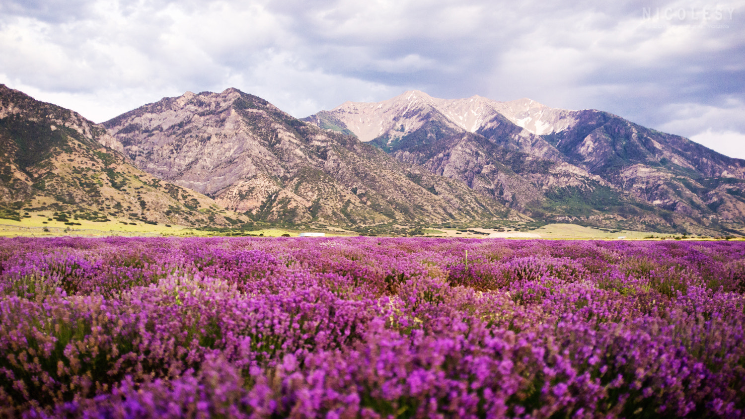 Photograph Lavender Fields by Nicole S. Young on 500px